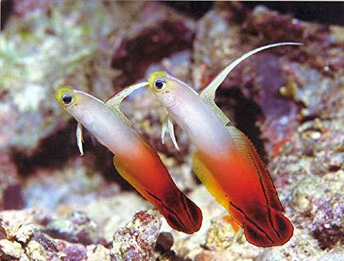 【海水魚/観賞魚/ハゼ】 ハタタテハゼ ■サイズ:4cm± (2匹)