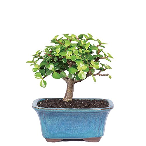 Brussel's Live Dwarf Jade Indoor Bonsai Tree - 3 Years Old; 4' to 6' Tall with Decorative Container