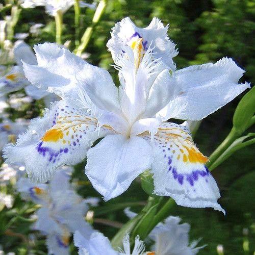 Promotion perte! 50PCS / sac 24 colorsJapanese Iris Japonica Graines de fleurs, graines Iris blanc orchidée plante japonaise Rare Fleur, Jardin Maison Bonsai