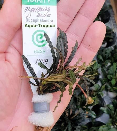 Aqua-Tropica Bucephalandra Alamanda vi Blue - 1 Pflanze Lose
