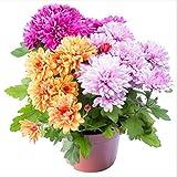 xinduo semi di fiori balcone interni ed esterni,specie di crisantemi da balcone per giardino a quattro stagioni.-0,25 kg,semi di piante da giardinaggio