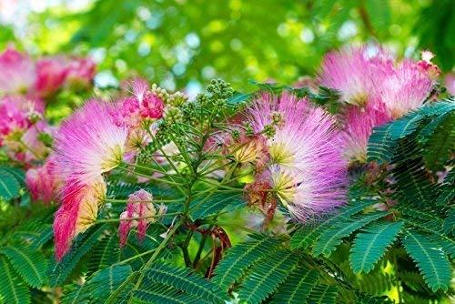 Schlafbaum Seidenakazie - 20 Samen