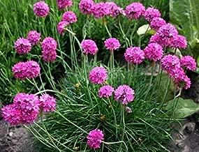 sea Thrift Pompom Pink armeria maritima Ground Cover Perennial 10 Seeds