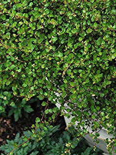 Perennial Farm Marketplace Muehlenbeckia axillaris ((Creeping Wirevine) Perennial, 1 Quart, Green Leaves with Tiny White Fruit