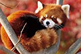 HommomH 60x80 Blanket Throw Comfort Thin Soft Air Conditioning A Baby red Panda