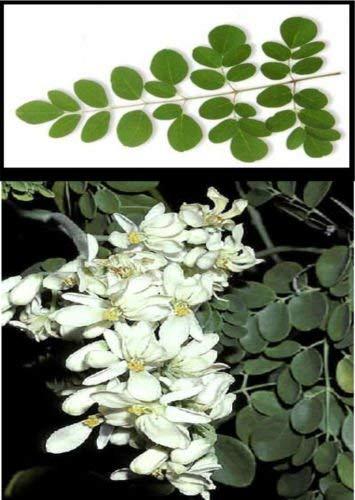 5 Moringa.oleifera Baum des Lebens Gesunde Nahrung Baumsamen