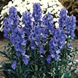 Qulista Samenhaus - Raritäten Eisenhut Blumensamen prächtige schnittblumen mehrjährig winterhart für die Sommerrabatte/Blumentopf/Terrasse