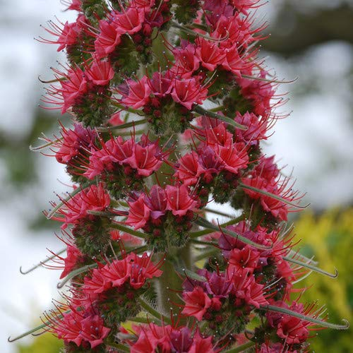 Plant World Seeds - Echium Wildpretii 'Red Rocket' Seeds