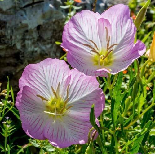 Pinkdose Auffälliges rosa Nachtkerze Blumensamen Samen