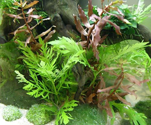Mühlan - Wasserpflanzensortiment für Kaltwasserquarium, wiederstandsfähig, schnellwachsend, Pflegeleichte Aquariumpflanzen + Wasserpflanzendünger