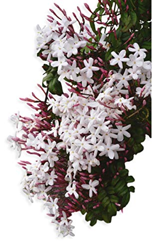 Hardy Jasmine - Jasminum Officinale - 1 Live Starter Plug Plant Rooted in 2.5' Pot - Deliciously Fragrant | Ships from Easy to Grow TM