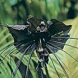JustSeed Flower Fledermausblume Bat Plant 25 Samen