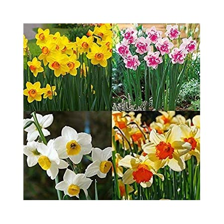 400X Mixed daffodil double narcissus duo bulbs seeds spring plant flower de FO