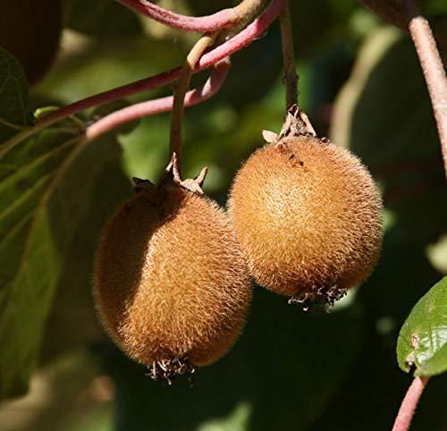 selbstfruchtende Kiwi Jenny Kiwibaum 60-100 cm Actinidia Obstbaum Rarität Kiwi Pflanze winterhart