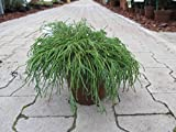 Baumschule Anding Grüne Zwerg-Fadenzypresse - Chamaecyparis pisifera - Filifera Nana - 15-20 cm