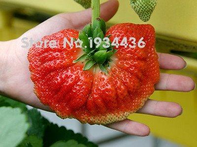 11.11 Sur Sale-- Top ventes 500pcs / sac géant graines de fraise super gros Red Strawberry Fruit semences délicieuses graines de bonsaï de Shipp Free