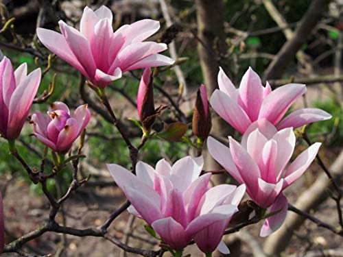Tulpen-Magnolie Magnolia x soulangiana...