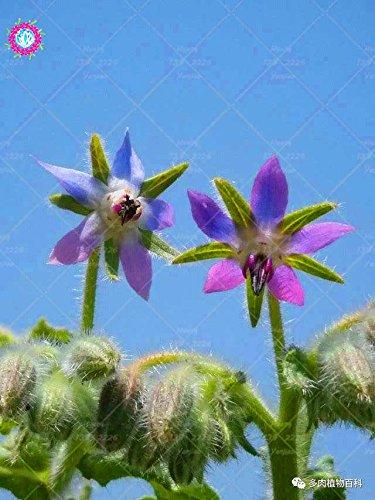 20PCS Rare Bleu bourrache semences Bonsai Fleurs Graines Légumes et cuisine Assaisonnement plantes comestibles Graines de vanille plantes vivaces 4