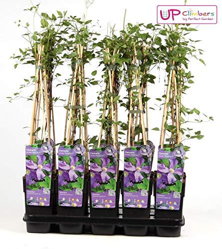 Waldrebe Clematis Viticella Polish Spirit 60-80 cm Kletterpflanze