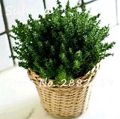 Citron thym herbes Graines 200sesds / sac semences biologiques végétales Thym Citron Mosquito Repelling rampantes 1