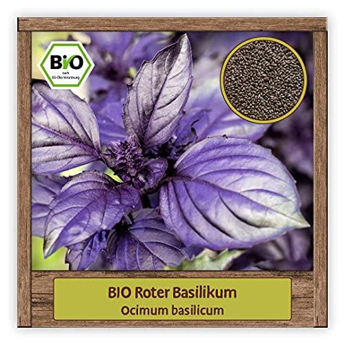 BIO roter Basilikum Samen (Ocimum basilicum) großblättriger Strauchbasilikum in lila & violetten Farben