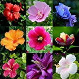 XQxiqi689sy 100Pcs / Bag Semillas De Hibisco Plantas De Flores Raras Semillas De Flores De Jardinería Semillas de Hibisco