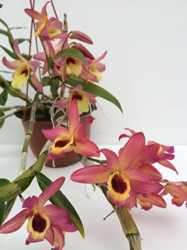 1 blühfähige Orchidee der Sorte: Dendrobium Meinen Hebammen, traumhafte Orchidee vom deutschen Züchter