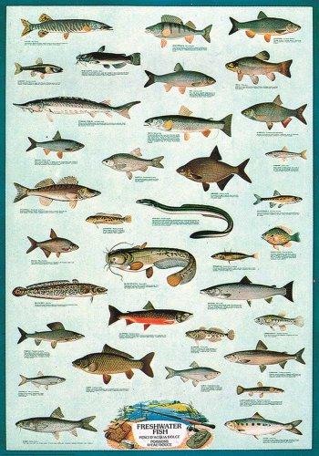 Educational - Bildung Süsswasserfische - Freshwater Fish Bildungsposter Plakat Druck - Version in Englisch - Grösse 68x98 cm