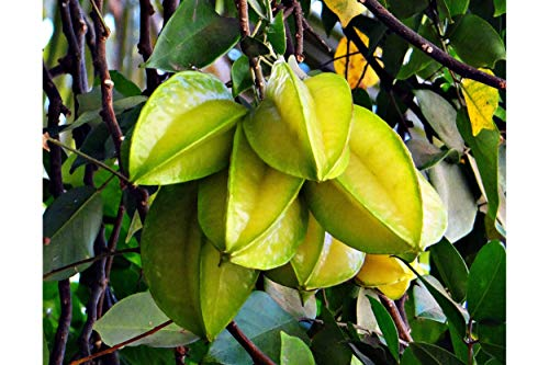 Tropical Starfruit Tree 10 Seeds Container Indoor or Outdoor Gardening White Flowers Cut Fruit Looks Like Stars! AVERRHOA Carambola