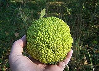 hedge apple wood