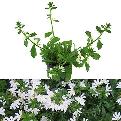 Isenzo Fächerblume Scaevola Aemula Balkonpflanzen Weiß blühend Pflazne sommerblühende Pflanze Rabatten
