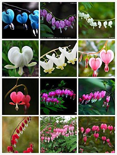 100 semi Dicentra spectabilis Bleeding classico impianto Cuore casetta da giardino, fiori a forma di cuore in primavera, fogliame ferny Multi-Colored
