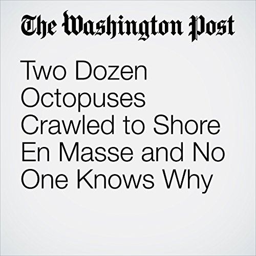 Two Dozen Octopuses Crawled to Shore En Masse and No One Knows Why copertina