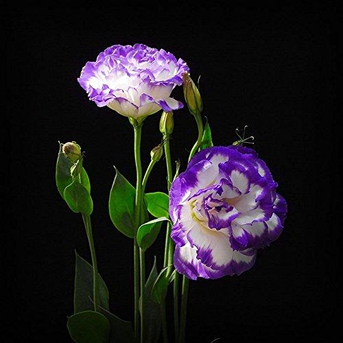 Plantes vivaces Violet Eustoma Graines Floraison en pot Fleurs Graines Lisianthus Multicolor pour le bricolage Home & Garden - 100 PCS