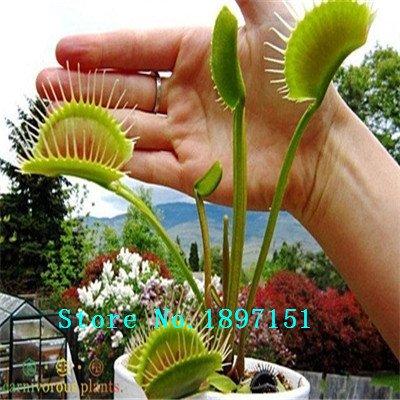 Big Verkauf Dionaea Samen Muscipula Riesen Clip Venusfliegenfalle Samen 300PCS Blumensamen