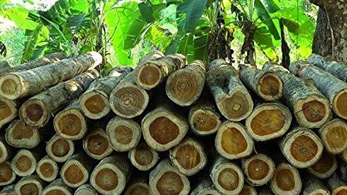PLAT FIRM GRAINES DE GERMINATION: 100 Samen Teck-Baum Samen Riesen Starke Grün Exotische seltene Samen Tectona grandis