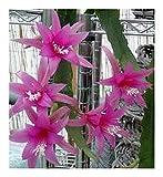 Epiphyllum Delicate Jewels - Orchideenkaktus Delicate Jewels - 5 Samen -