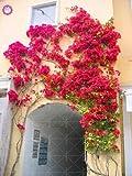 ferry 100pcs / bag brasile bouganville bonsai bellissimo fiore rampicante perennail fioritura giardino della casa decorationn piante in vaso: mix
