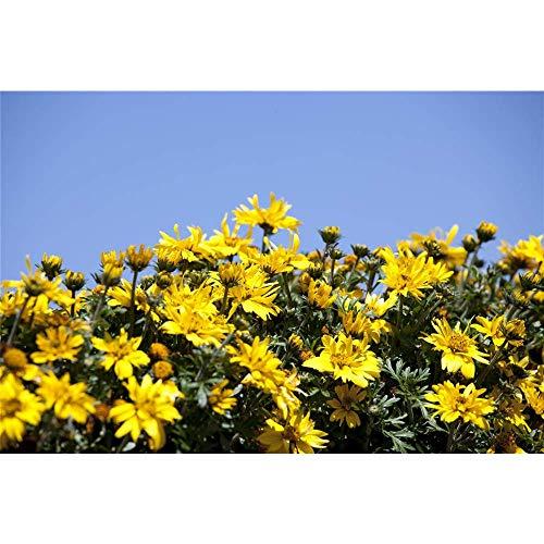 Bidens - Zweizahn - Goldmarie - im Topf 11 cm, in Gärtnerqualität von Blumen Eber - 11 cm