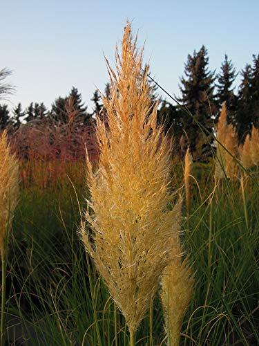 Garten-Pampasgras Auffällige Blätter mit weißen Querstreifen