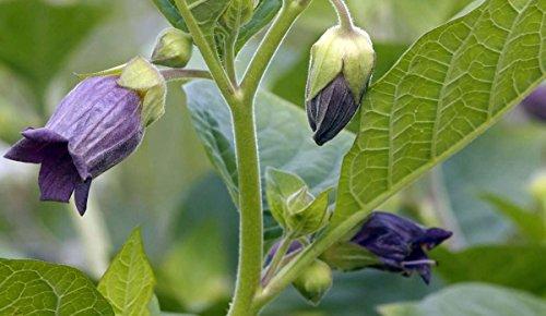 Asklepios-seeds® - 500 Semillas de Atropa belladonna belladona