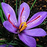 Anitra Perkins - 100 Pcs Safrankrokus 'Crocus sativus' Blumensamen herbstblühend Krokus mit teuren Safranfäden exotische samen für Garten Balkon (100)