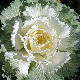 Best osaka white cabbage Reviews