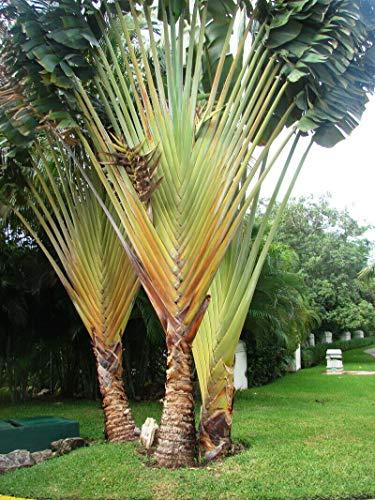 Zwerg-Baum der Reisenden Phenakospermum...