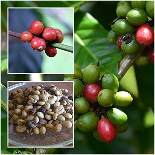 PLAT FIRM GERMINATIONSAMEN: Coffea Robusta 50 Samen Robusta-Kaffee Robusta-Kaffee Erbstück für den Anbau