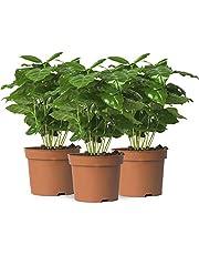 Pack de 3 Plantas del Café Coffea Arabica Altura 30cm Cafeto Plantas de Interior Naturales