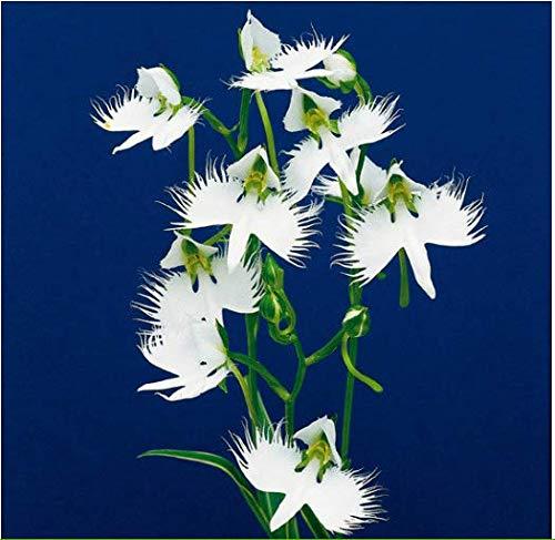 Tomasa Samenhaus- Raritäten 50 Stück Japanische Vogelblume Samen Habenaria Blumensamen Orchidee Samen Blumen winterhart mehrjährig für Balkon/Garten