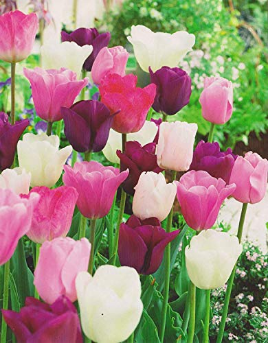 Tulpenzwiebeln rosa/lila/weiß Mix Tulpen (50 Blumenzwiebeln)