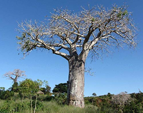Adansonia digitata - Baobab - Tropical Plant Rare Tree & Graines Bonsai (5)