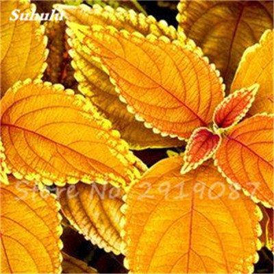 Janpanse Bonsai coleus Graines 50 Pcs Plantes feuillage couleur parfait arc Graines Belle Mixed Flower Garden plante Sement 13